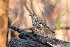 The app protecting Kangaroo Island's bushfire impacted birds on the brink