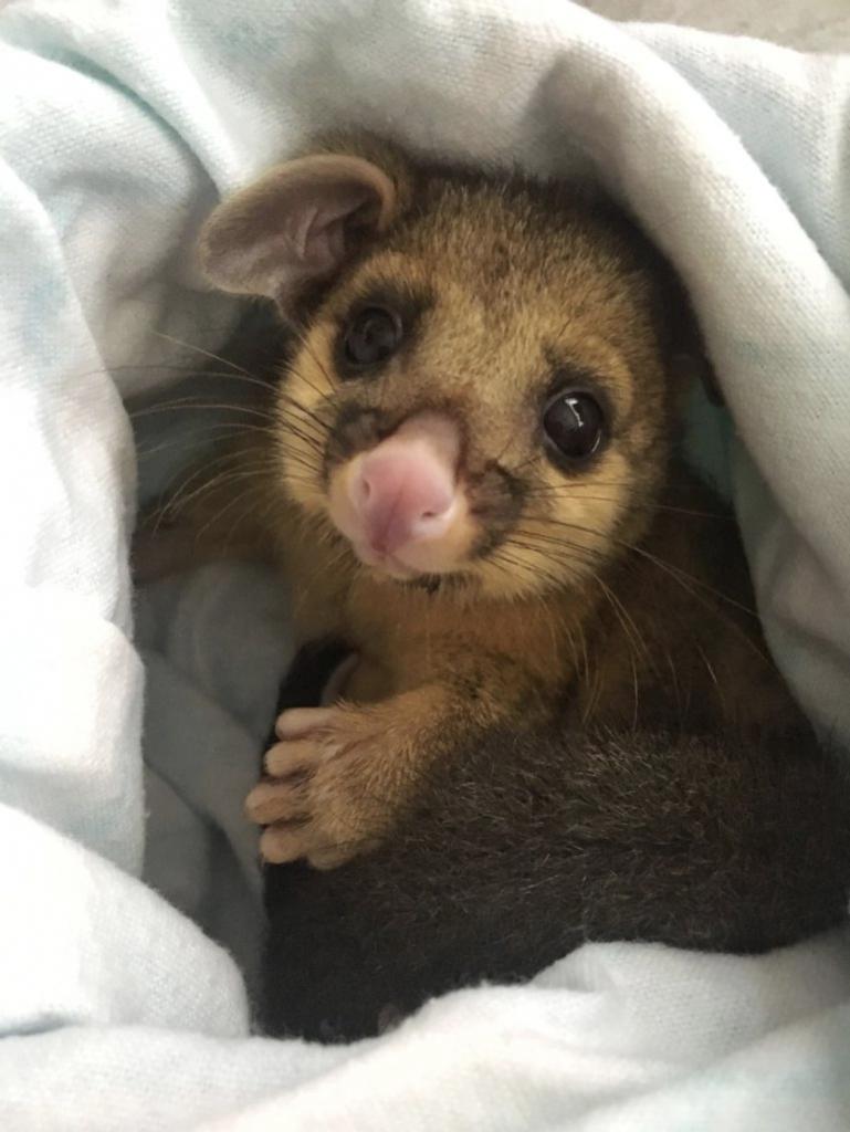 Marsupial in care after bushfires 2020