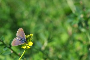Mallacoota conservationists battle to protect Black Summer impacted butterflies only found in East Gippsland